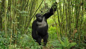 sliverback gorilla standing